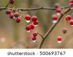 Red Hawthorn Berries With Wate...