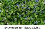 wild forget me not flowers in... | Shutterstock . vector #500733253