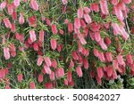 Pink Flowering Bottlebrush Shrub