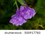 Raindrops On The Ruellia...