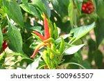 Red Hot Pepper Field