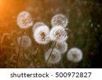 dandelions backlit by an orange ... | Shutterstock . vector #500972827