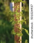 "Small photo of Maple (Acer platanoides) cultivar ""Donig Special"", young sapling in spring, natural floral seasonal background. First day spring"