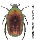 Small photo of Beetle Cetonia aurata aurata on a white background