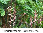 Hanging Lobster Claw Heliconia...