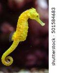 Slender Seahorse  Hippocampus...