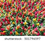 Small photo of More colorful Celosia Flower abound in garden, close up and top view shot.