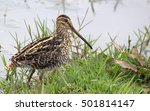 Small photo of African snipe