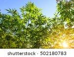 marijuana bud on canopy of... | Shutterstock . vector #502180783