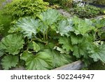 Rhubarb Plant Growing In A...