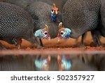 Three Helmeted Guineefowl Bird...