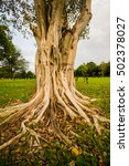 a banyan tree has a strong root ... | Shutterstock . vector #502378027