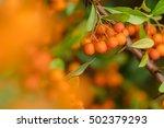 Twig Of Firethorn  Pyracantha ...
