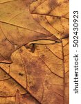 autumn fallen dry maple leaves... | Shutterstock . vector #502430923