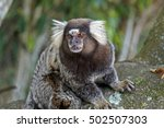 Common Marmoset  Callithrix...