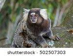 Common Marmoset  Callithrix...