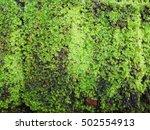 Green Moss Lichen Background O...