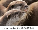 Oriental Small Clawed Otters O...