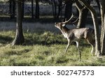 Small photo of belling fallow deer in nature in forest in Holland ADW nature area