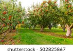 Apple On Trees In Orchard In...