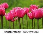 tulips in the garden   Shutterstock . vector #502996903