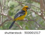 Small photo of Altamira Oriole in the Laguna Atascosa Wildlife Refuge in Texas