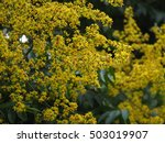 the pretty yellow blossoms in... | Shutterstock . vector #503019907