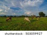 farm cow on sunrise | Shutterstock . vector #503059927