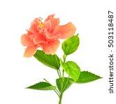 orange hibiscus flower and...   Shutterstock . vector #503118487