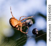 Small photo of Spider catching beetle - Mummified beetle in an spider's web