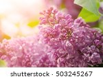 branch of lilac flowers with... | Shutterstock . vector #503245267