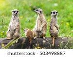 suricata suricatta meerkat... | Shutterstock . vector #503498887