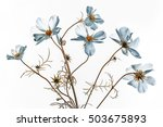 Stock photo cosmos flower white with yellow centre 503675893