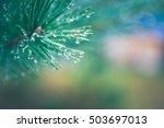 Fir Dew. Pine Tree With Mornin...