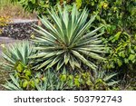 Small photo of Agave angustifolia