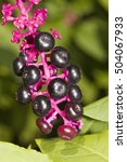 Small photo of American pokeweed, Phytolacca americana
