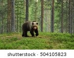 european brown bear in a forest ... | Shutterstock . vector #504105823