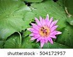 Lotus Blooming Purple Lotus...