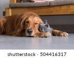Stock photo golden retrievers and shorthair kitten 504416317