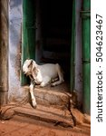 Small photo of Goat resting on a threshold of the door in natural sunset light