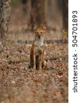 Small photo of Indian wild dog sit in the nature habitat, very rare animal, dhoul, dhole, red wolf, red devil, indian wildlife, dog family, nature beauty, cuon alpinus
