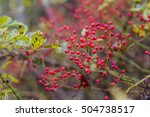 red berries in yelow autumn... | Shutterstock . vector #504738517