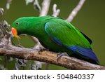 eclectus parrot  eclectus... | Shutterstock . vector #504840337