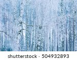 Beautiful Frozen Birch Forest...