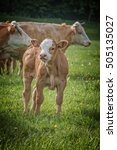 Young Curious Calf Looks At Th...