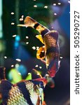 Small photo of Feeding aquarium fishes - barbus puntius tetrazona in aquarium