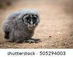 Young Snow Owl