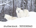 Two Arctic Wolves In The Winte...