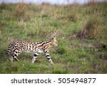 Beautifully Patterned Serval...