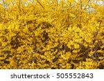forsythia  yellow spring...   Shutterstock . vector #505552843